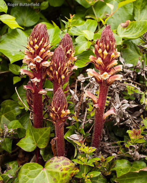 Ivy Broomrape photographed by Roger Butterfield