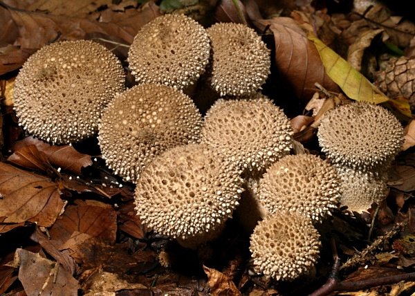 Common Puffball fungi, photographed by Roger Butterfield.