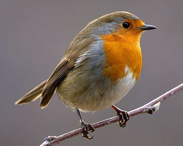 European Robin photographed by Roger Butterfield