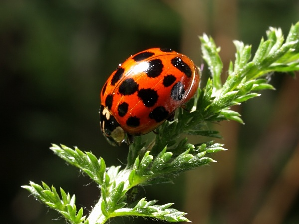 Harlequin Ladybird - Sharrow School's Green Roof