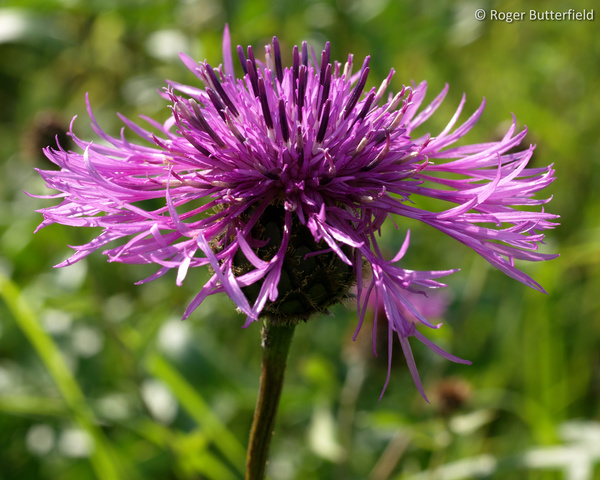 Greater Knapweed photographed by Roger Butterfield