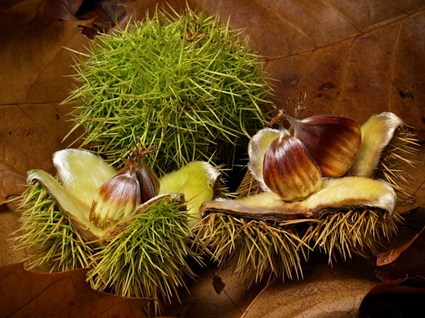 Sweet Chestnuts #1 - Autumn
