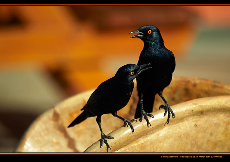 100319-Namibia-9558-Starlings - Beyond the UK - Namibia