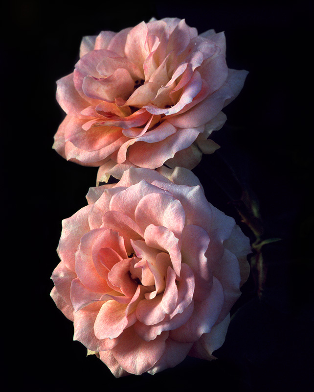 Two Roses - Flowers