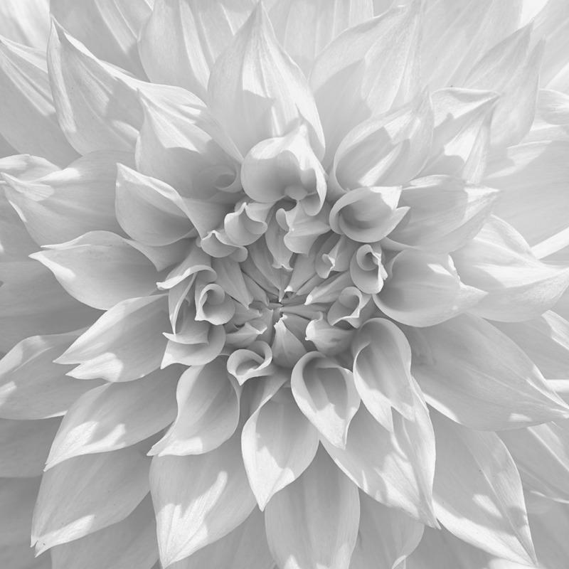 Dahlia #4 - Botanicals