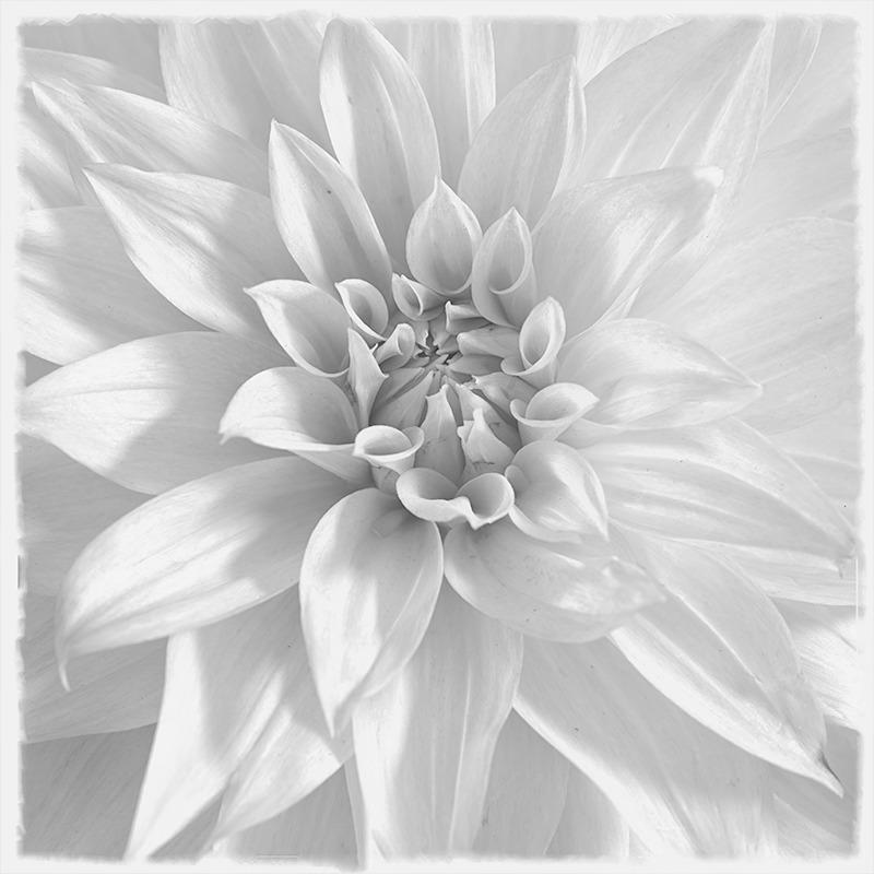 Dahlia #1 - Botanicals