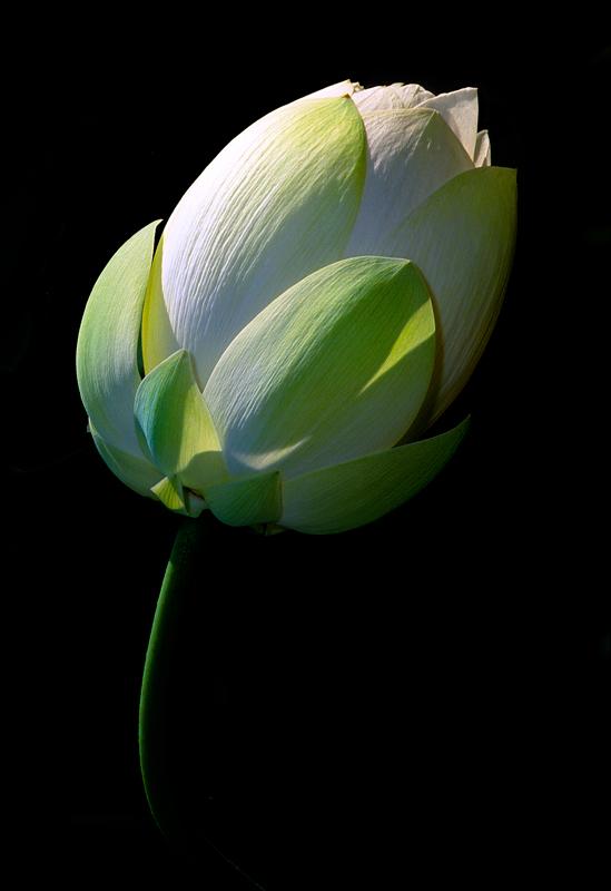 Lotus - Flowers