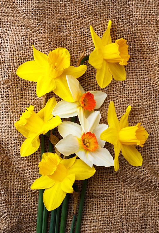 Daffodils - Close Up & Still Life
