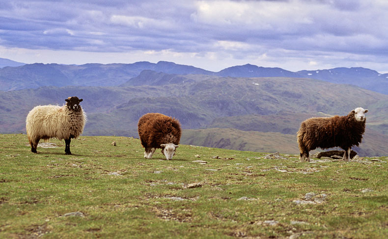 Sheep on Helvellyn - Lake District