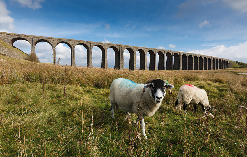 Inquisitive Sheep - Landscapes