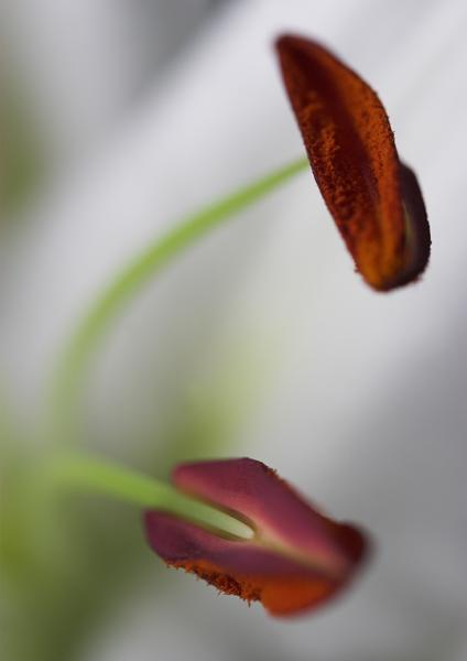 Lily Stamen - Flora