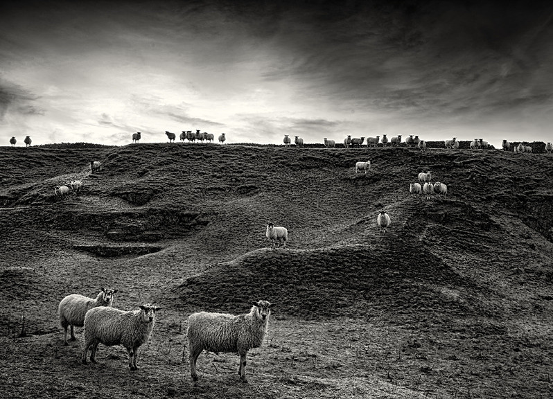 Sheep photographed in black and white