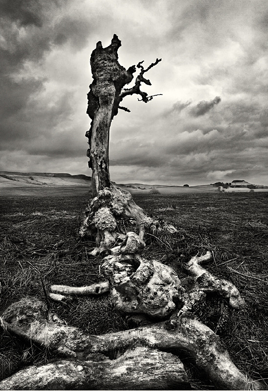 Old decayed tree photographed in black and white