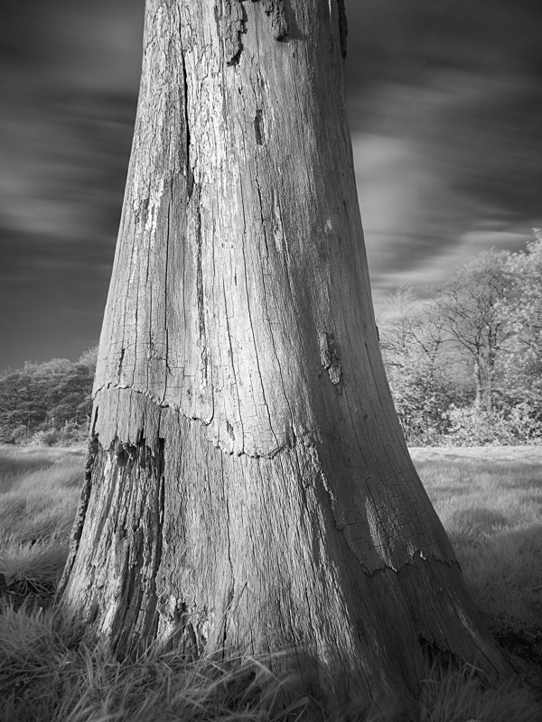 Tree Study in Infrared #2 - Infrared