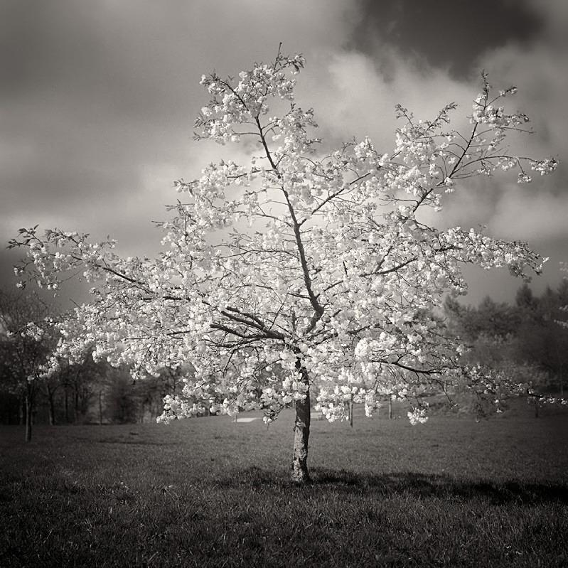Blossom Tree Photograph