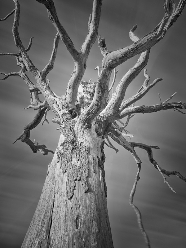 Tree Study in Infrared #1 - Infrared