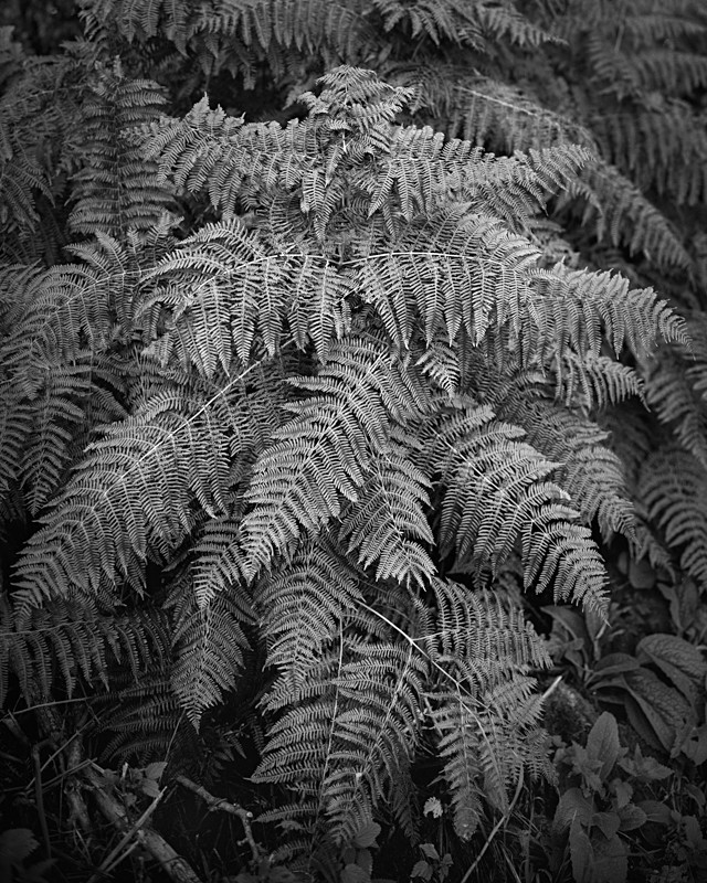Fern Study - Abstract & Still Life