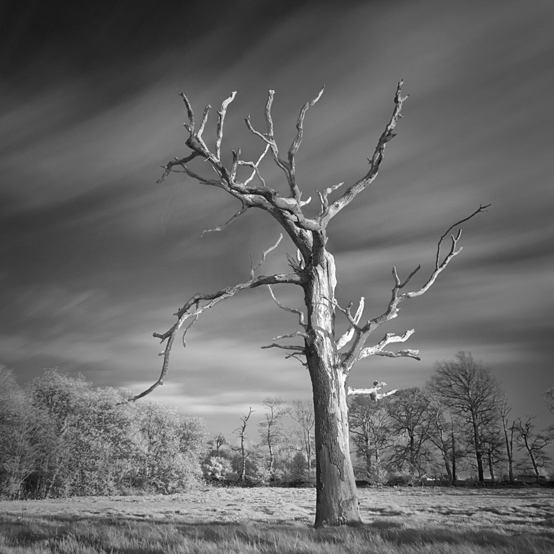 Dead tree in Infrared #1 - Infrared