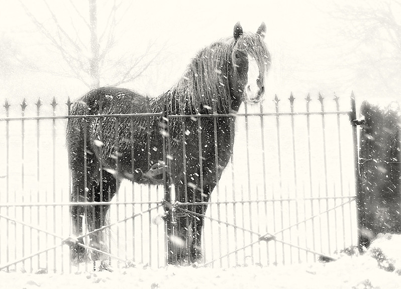 Winter scene of Shire Horse