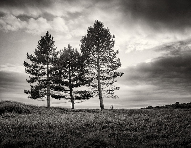 Three fern Trees photographed in Black and White