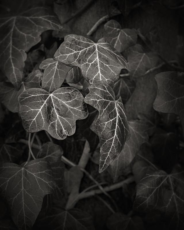 Ivy Study - Abstract & Still Life