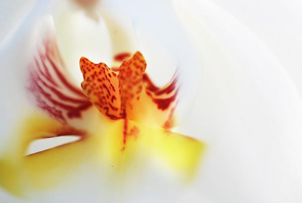 Orchid Heart - Macro