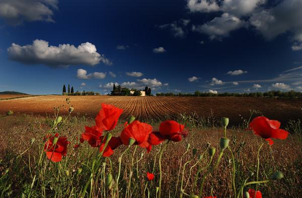 Poppy dream - Tuscany