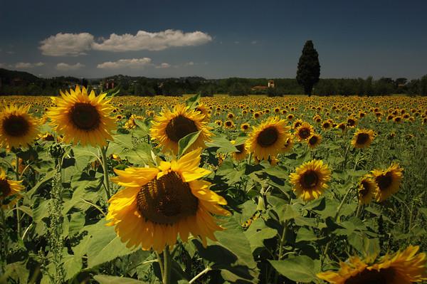Sunflower heaven - Tuscany