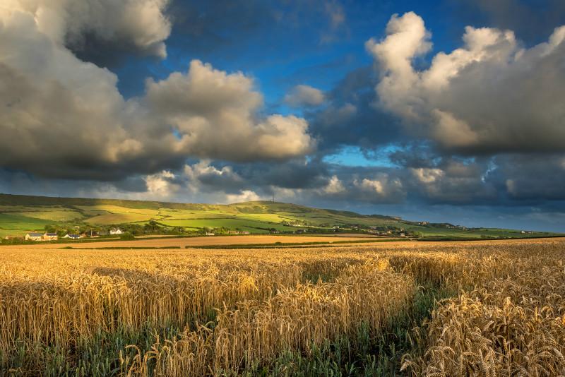 z3094 Evening Wheatfields, Chale - Latest Photos