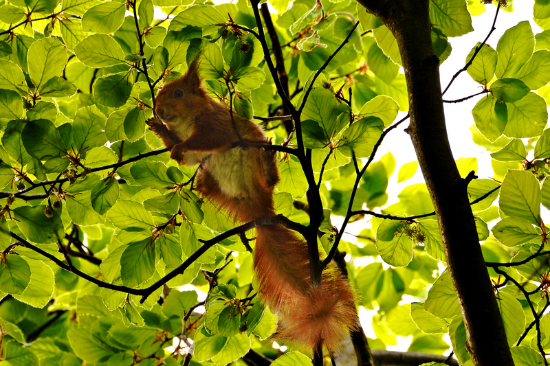 z1392 Red Squirrel, Woodhouse Copse - East Cowes to Ryde inc Haventstreet, Ashey