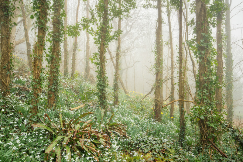 z2169 Snowdrops in the Mist, Chale - Blackgang to Compton inc West Wight