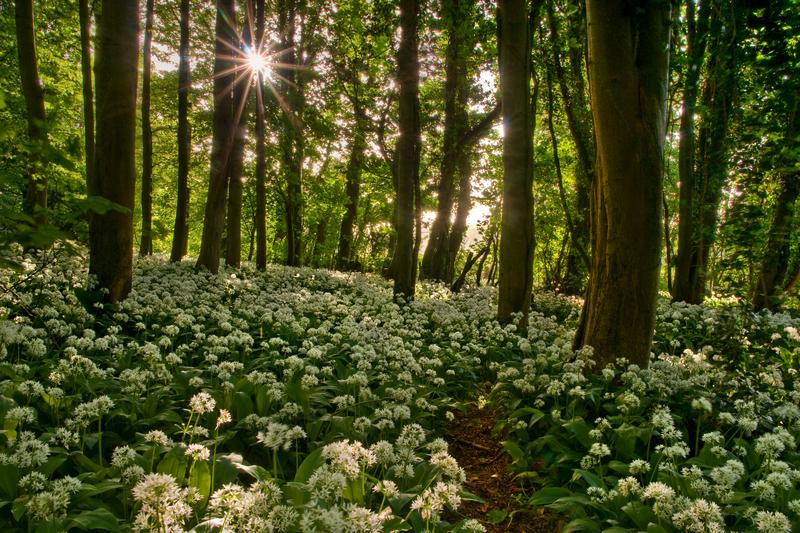 z1600 Wild Garlic, Calbourne - The Inner Island inc Newport & Godshill