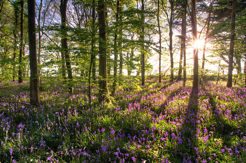 z2188 Bluebells, Woodhouse Copse - East Cowes to Ryde inc Haventstreet, Ashey