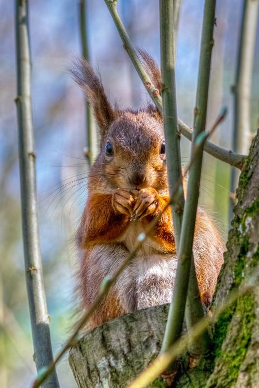 z2817 Red Squirrel, Borthwood Copse - The Inner Island inc Newport & Godshill