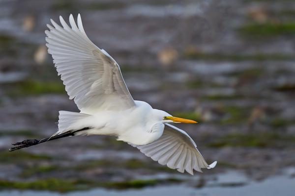 Great Egret - Florida 2011