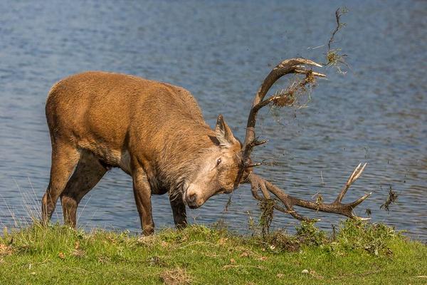 Red Deer - Nature & Animals