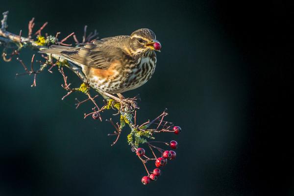 Redwing - Birds - Wild