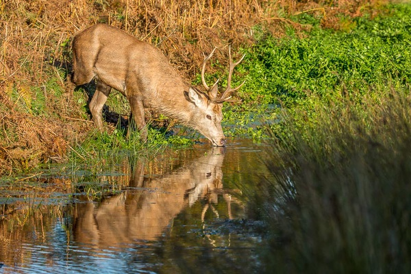 Red Deer Drinking - Nature & Animals