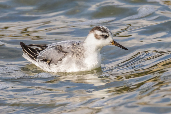 Grey Phalarope - Birds - Wild