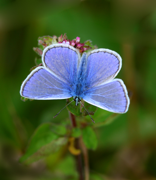 Adonis Blue - Close up