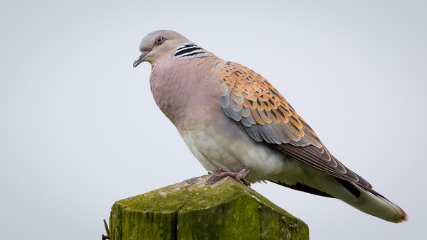 Turtle Dove - Birds - Wild