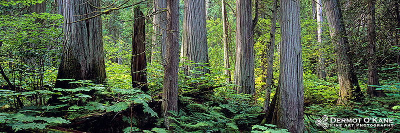 Giant Cedars - Panoramic Horizontal Images