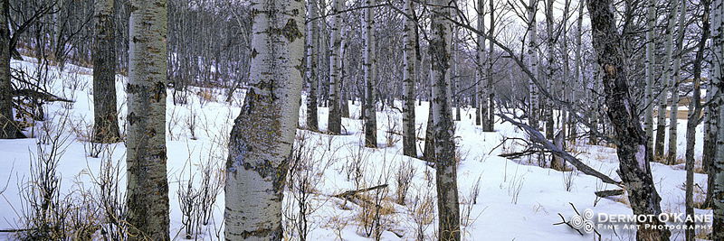 Aspens In Snow - Panoramic Horizontal Images