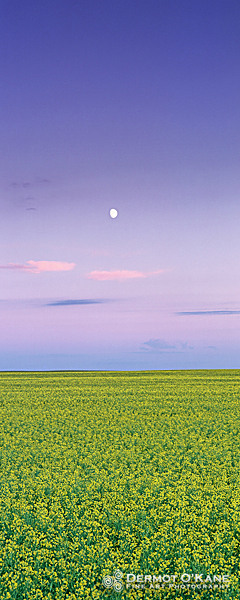 Canola Moonrise - Panoramic Vertical Images