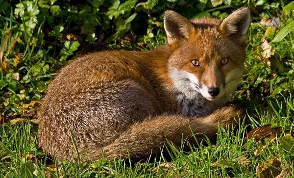 Sunbathing Fox - Natural History