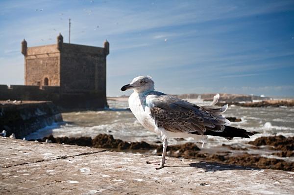 Young Gull, Essaouira (7114) - Morocco