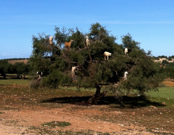 Goats in Argan Tree (goats) - Morocco