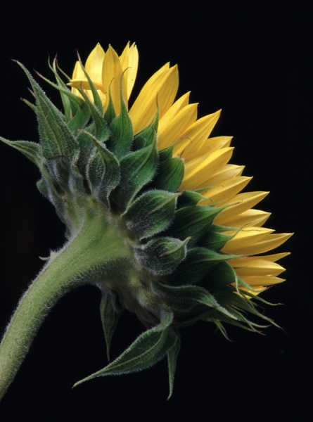 Sunflower Detail 1 - Flower Studies