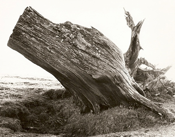 DEAD TREE ROOTS, Cefn Coch, Cwmystwyth, Ceredigion 2008 - THE WELSH LANDSCAPE