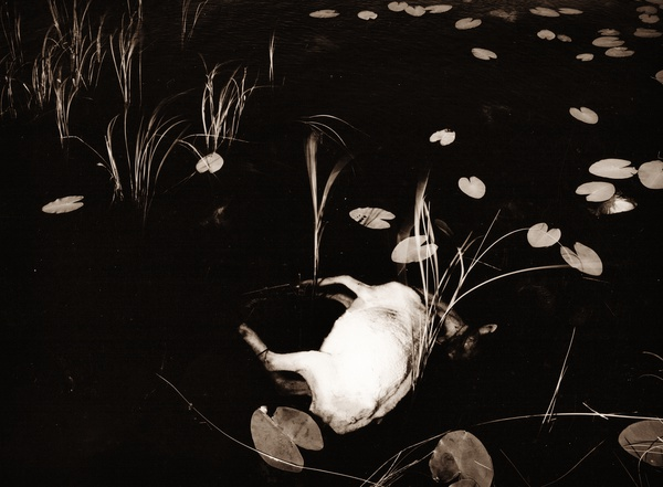 DEAD SHEEP AT TEIFI POOLS, Ceredigion 1993 - THE WELSH LANDSCAPE